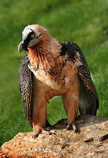 lamb vulture of the Alps