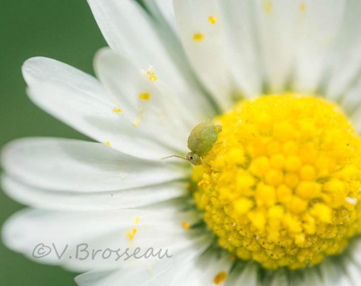 Un petit collembole se régale du pollen d'une pâqurette - photo de V.Brosseau