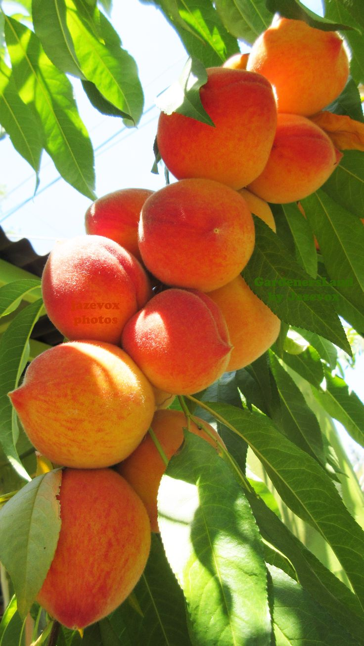ORGANIC PEACH - PEACHES FRUIT / FRUITS Fresh From The FRUIT TREE :-)  GARDENING VIDEOS at https://www.youtube.com/gardenersland  GARDENING BLOG at http://www.gardenersland.com