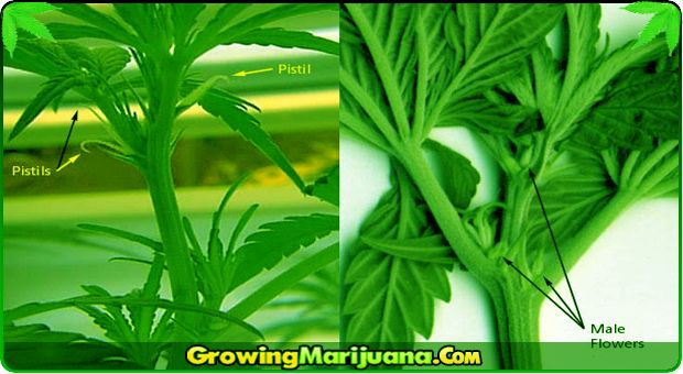 How to tell sex of marijuana-3919
