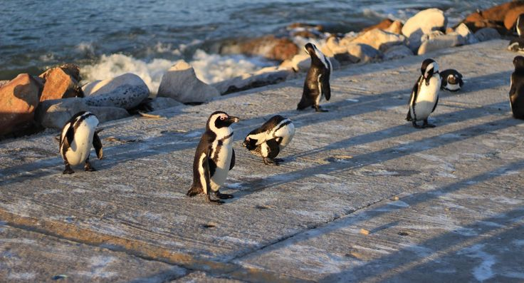 Who knew that Penguins would be in Africa!!!!  Visit our blog for more!!