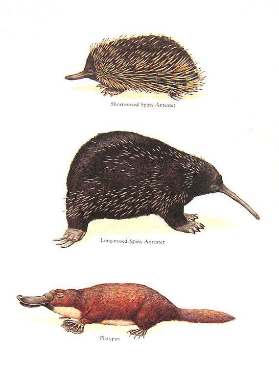Anteater Platypus Vintage 1984 Animals Book by mysunshinevintage