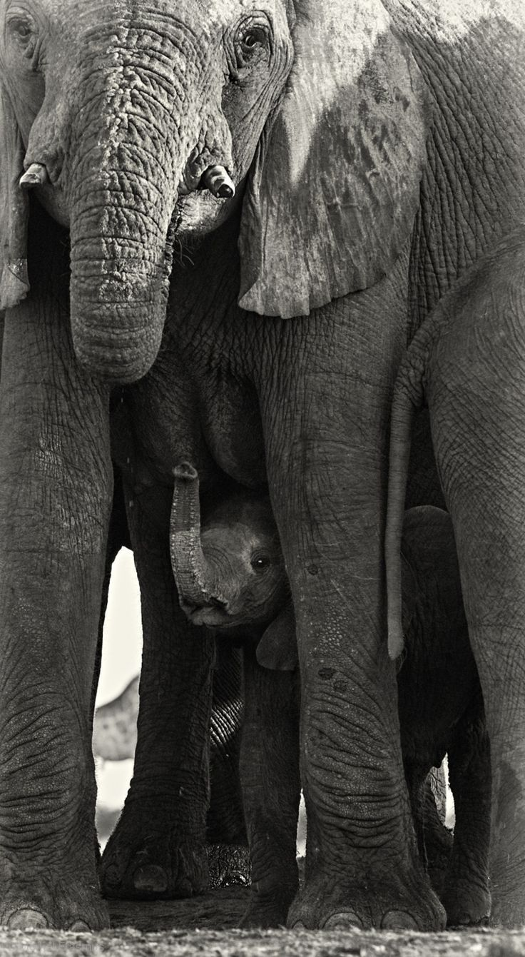 ~~Hiding   Elephant Calf under the protection of his mother   by Morkel Erasmus~~