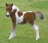 """Miniature horses are found in many nations, particularly in Europe and the Americas. The designation of miniature horse is determined by the height of the animal, which, depending on the particular breed registry involved, is usually less than 34–38 inches  as measured at the last hairs of the mane, which are found at the withers. While miniature horses are the size of a very small pony, many retain horse characteristics and are considered """"horses"""" by their respective registries."""