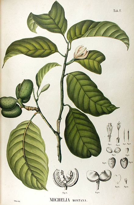 Magnolia montana / Bunga Jeumpa
