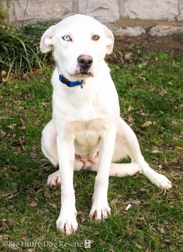 Adopt Luna on Big fluffy dogs, Big fluffy dog rescue
