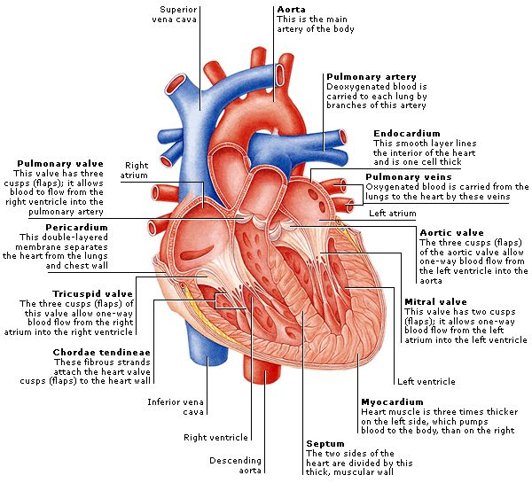 Heart diagram and functions defenderautofo heart diagram and functions brownshelter muscles ccuart Gallery