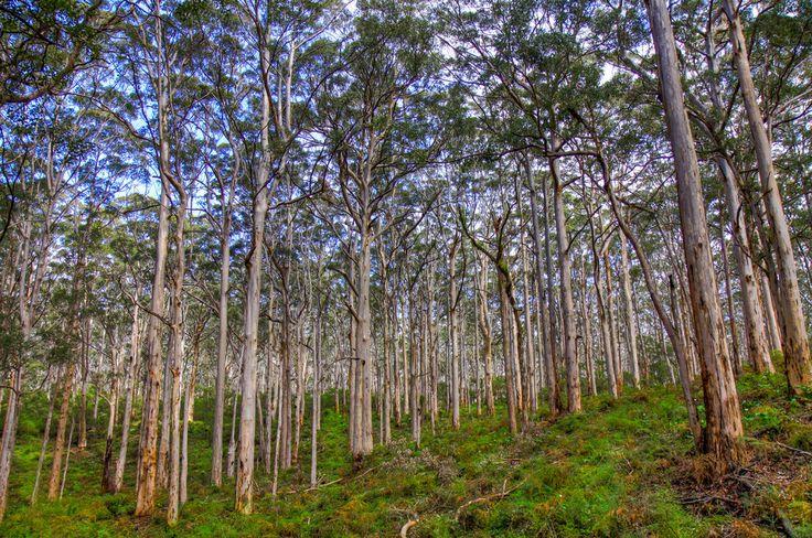 Boranup forest  , Western Australia