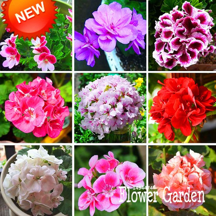 Big Sale!20 Pcs/Bag Geranium Seeds Perennial Flower Seeds Pelargonium Peltatum Seeds, 17 Colors Available,#U6N8BX #>=#>=#>=#>=#> Click on the pin to check out discount price, color, size, shipping, etc. Save and like it!