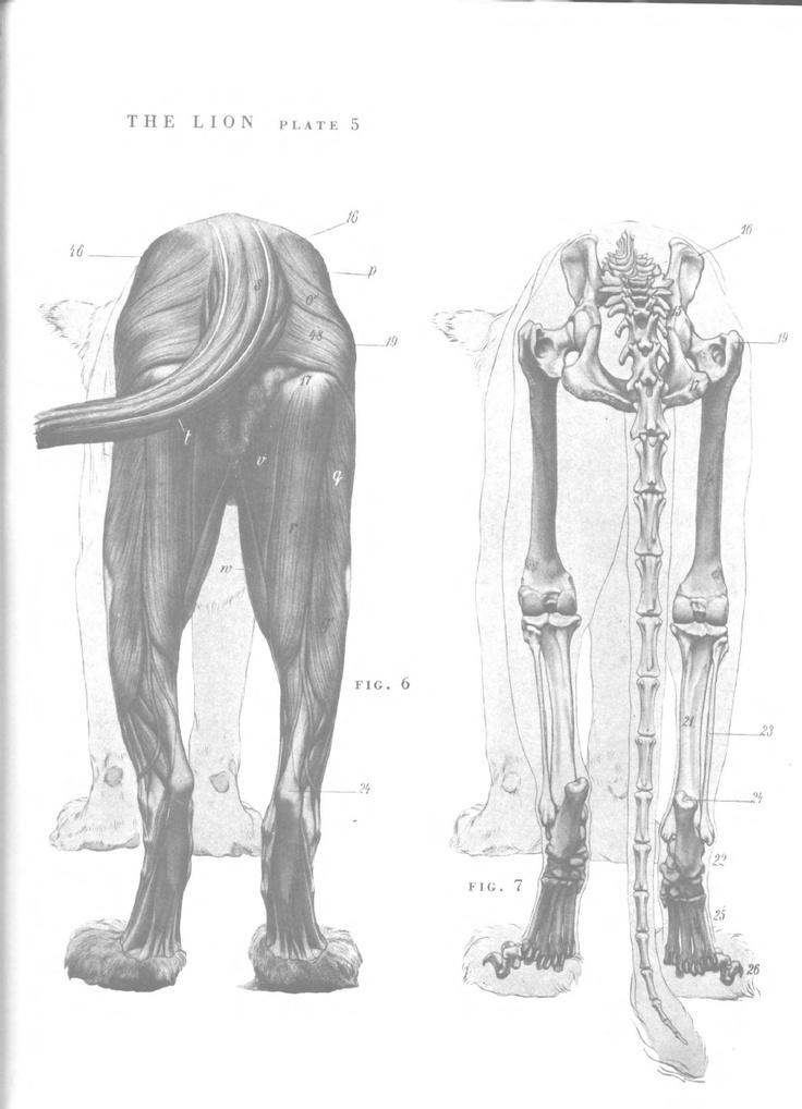 Lion Anatomy - Lion hind