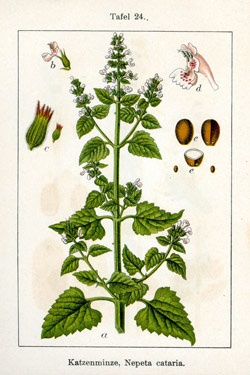 Catnip/Catmint....plant around the patio to repel mosquitoes: Botanical Herbs, Dry Catnip, Botanical Prints, Catnip Nepeta, Nepeta Cataria, Cat Nip, Growing Catnip, Herbal Botanical, Botanical Medicine