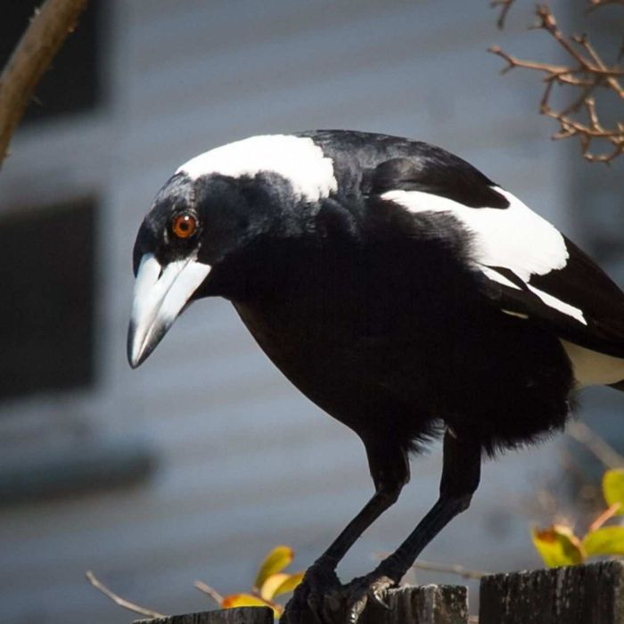 If you want to avoid being attacked by magpies this spring, perhaps you should try making friends with them.