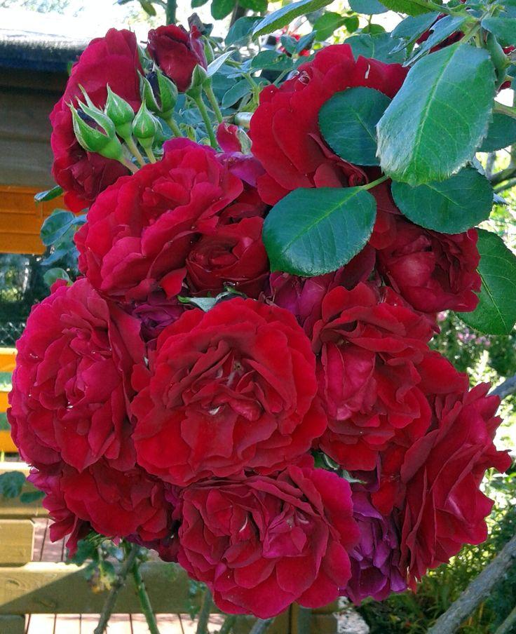 Wonderful park rose