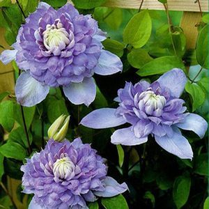 "Blue Light® Clematis. Has double 5-6"" flowers in violet blue"