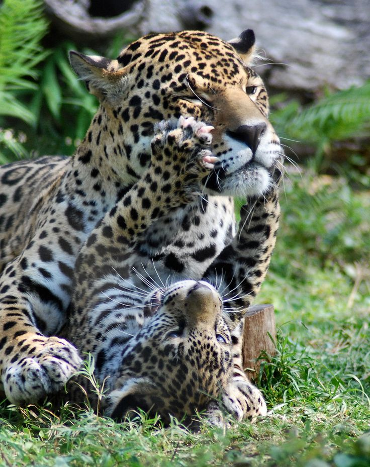 Mother & Baby Jaguars