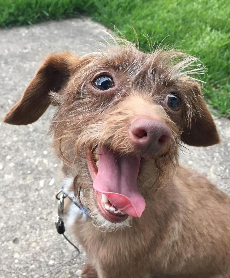 Adopt Chip on (With images) Dachshund mix, Pets, Adoption