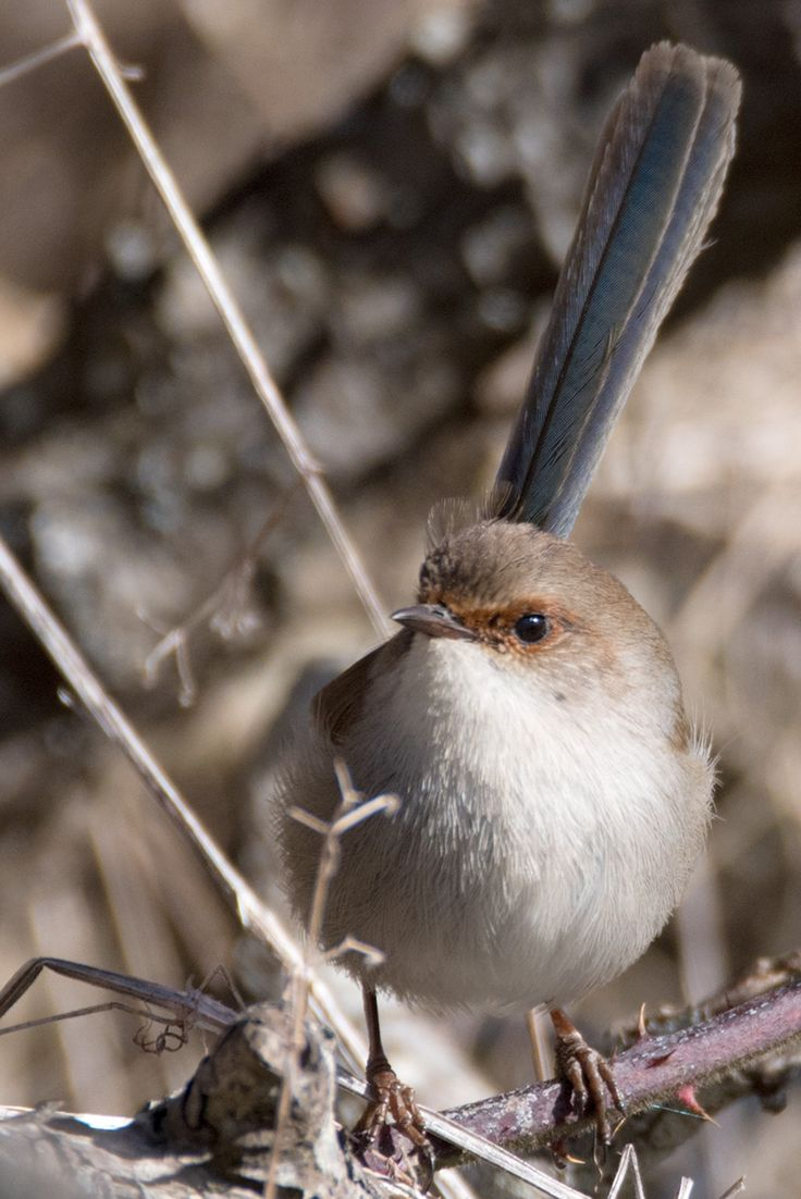 Superb Fairy Wren by EVM Pet and Nature Photography | Deloraine, Tasmania