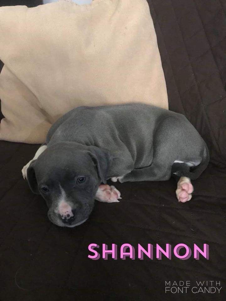 Shannon is an adoptable Pit Bull Terrier searching for a forever family near Garden City, MI. Use Petfinder to find adoptable pets in your area.