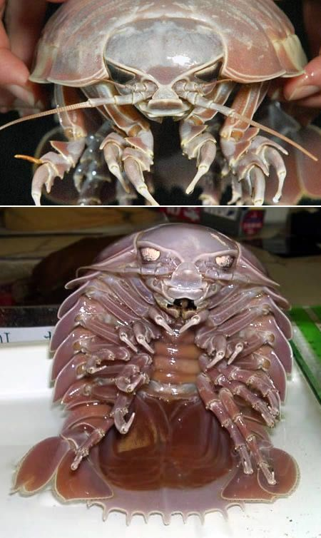 Giant Isopod...NOT cute!  Thank god they live 6000' down on the ocean floor b/c this would cure me of ever wanting to go in the ocean!