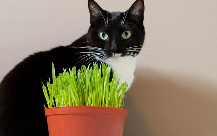 Diy how to grow cat grass indoors diy for pets for Indoor gardening with cats
