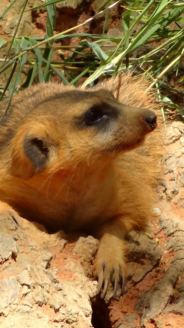 73 best meercats images on Pinterest | Wild animals, Fluffy pets and ...