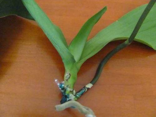 Проблема с корнями у фаленопсиса