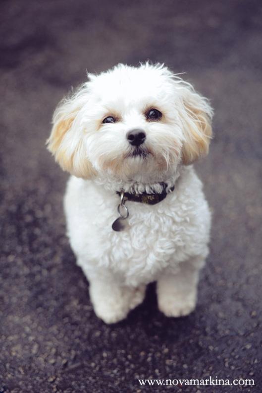 279 Best Shih Poo Shih Tzu Images On Pinterest Baby Shih
