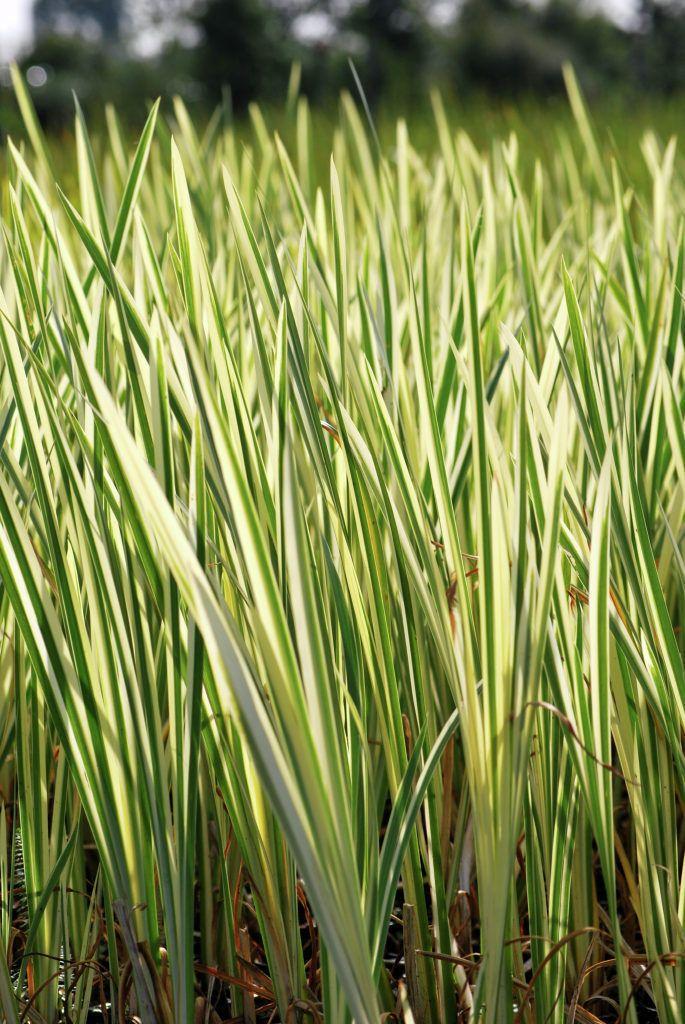 Vor Allem am Sumpf zeigen sich die weißen Streifen besonders stark. Und man weiß ja, Längsstreifen machen dünn...