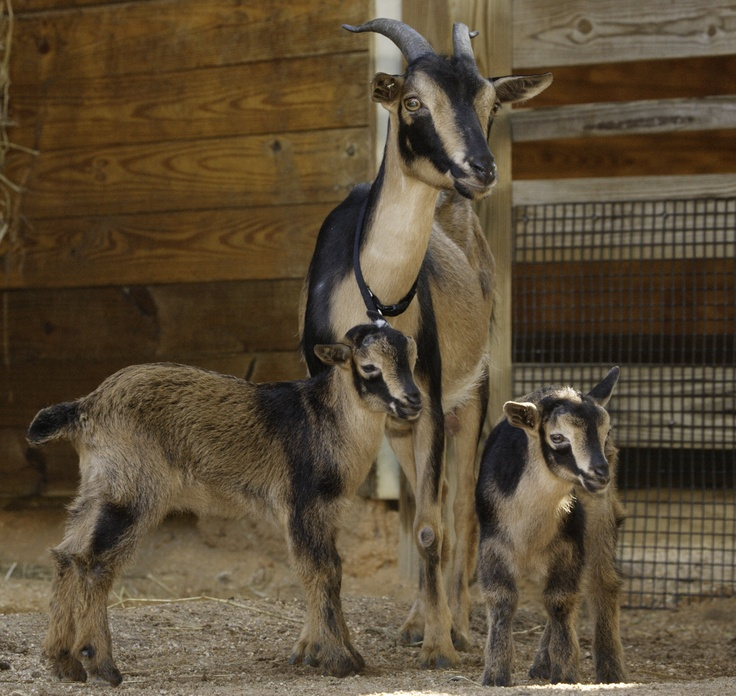 San Clemente goats - a rare breed with less than 400 animals known in the US