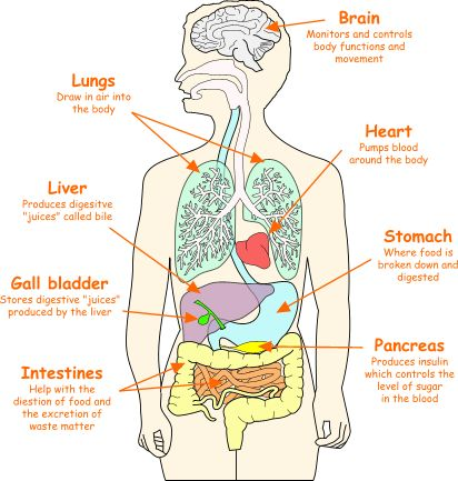 Body Organs Location Chart | SOME OF THE ORGANS IN THE ...