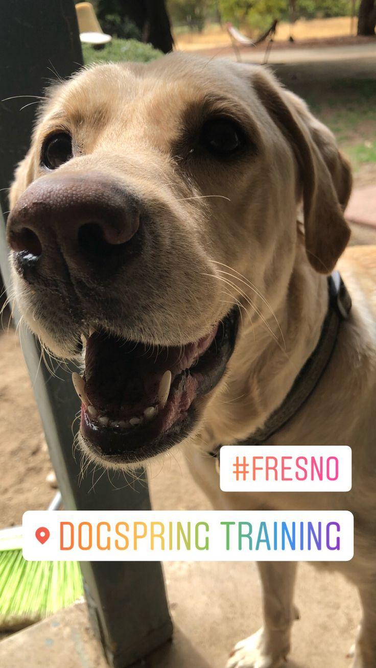Labrador Retriever Dog Training In Fresno Clovis This Pup Is