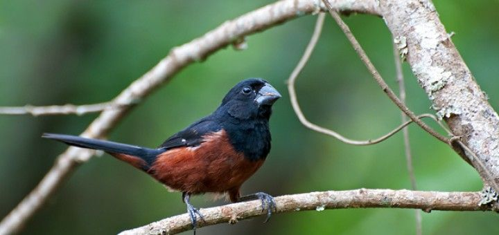 Curió - Sobre os Pássaros