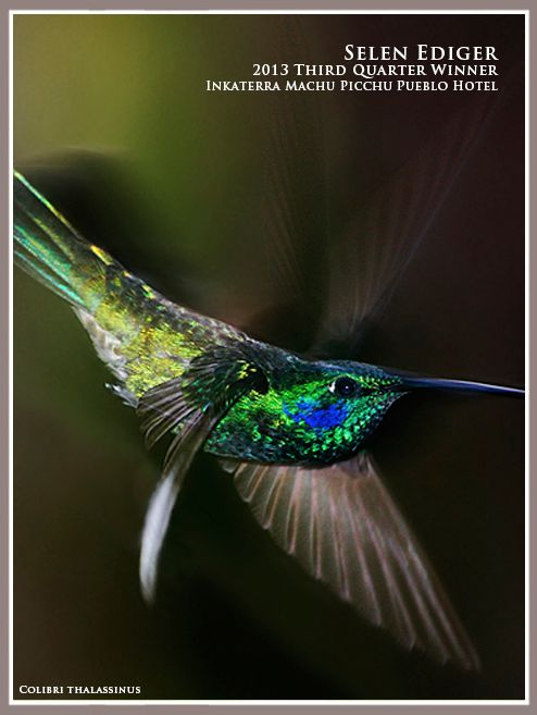 The winner of the Inkaterra Photo Contest Q3 - Selen Ediger, A colibri Thalassinus taken at Inkaterra Machu Picchu Pueblo Hotel