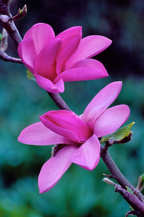 Close-up of Magnolia 'Apollo' blossoms in Spring, Van Dusen Botanical Garden, Vancouver, BC
