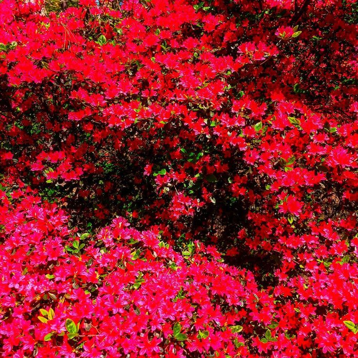 1000 ideas about azalea bush on pruning