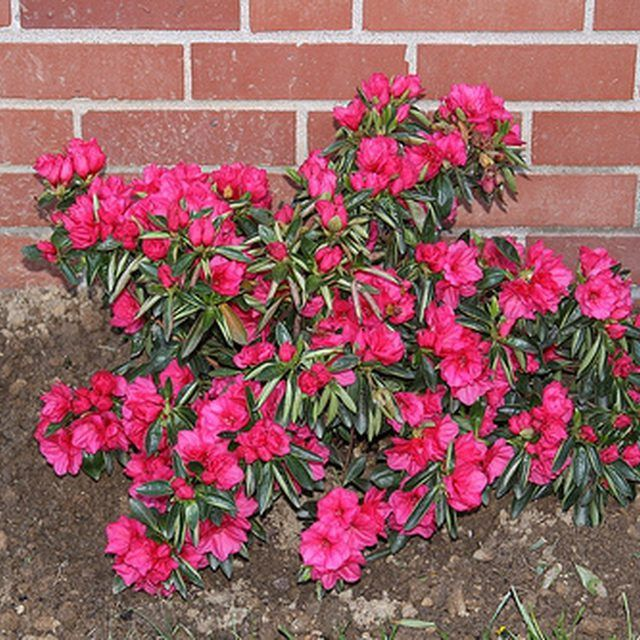 Azalea bushes can live for 50 years with proper care.