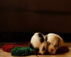 Slapende-puppys