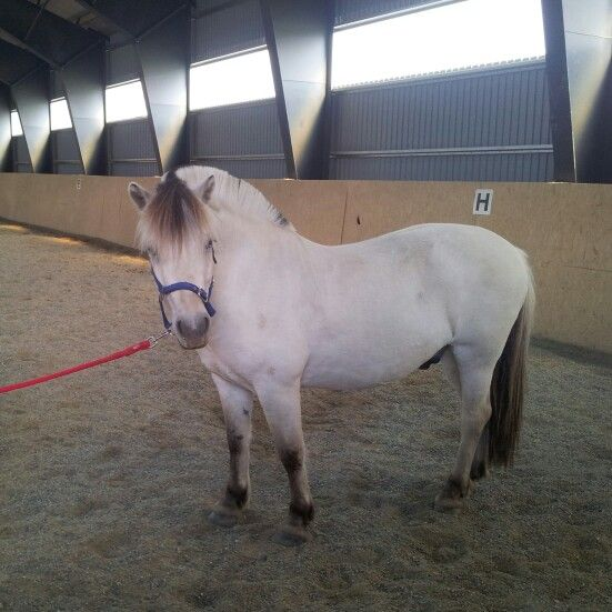 New horse! 5 years old Norwegian fjordhorse. #norwegianfjordhorse #fjordpower