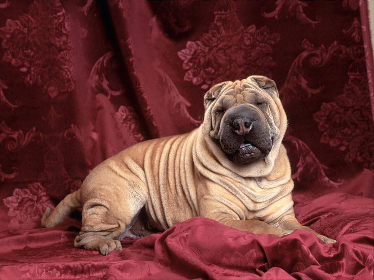 Shari-Pei: Cute Puppies, Wallpapersimcom Animal, Shar Pei, Shar Carótida, Raza Shar, Puppies Wallpapers, Machine Sharpei, Animal Farms, Cute Dogs