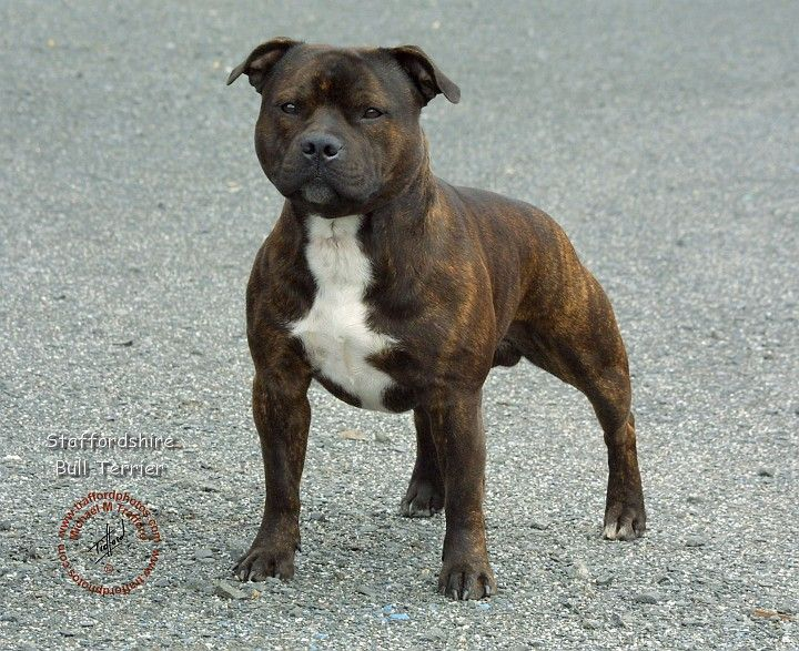 American Staffordshire Terrier | ... /Dogs/Staffordshire Bull Terrier/Staffordshire Bull Terrier 9F023-12