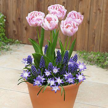 【そのまま植えて楽しむセット】八重咲きチューリップ寄せ植え