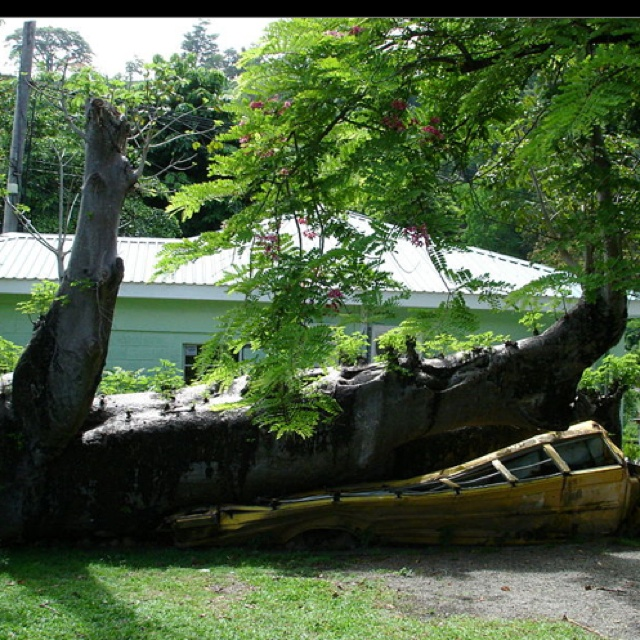 Baobab tree crushes a schoolbus in 1979 during Hurricane David in Dominica