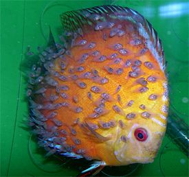 discus fish carrying fry. they feed their fry with a slime coat they produce. Changing lives at www.winwithwillnow.wordpress.com