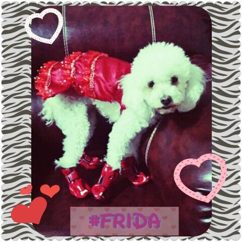 French Poodle OutfitRed