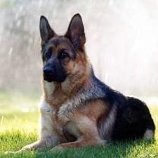 German Shepherd - Click image to find more Animals Pinterest pins