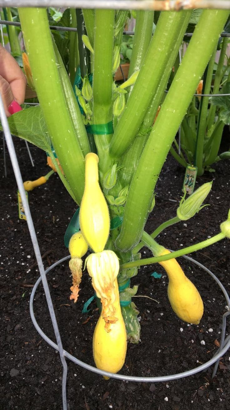 Growing squash vertically- you can do the same thing with zucchini -these are in my raised garden bed #verticalvegetablegardeningideas