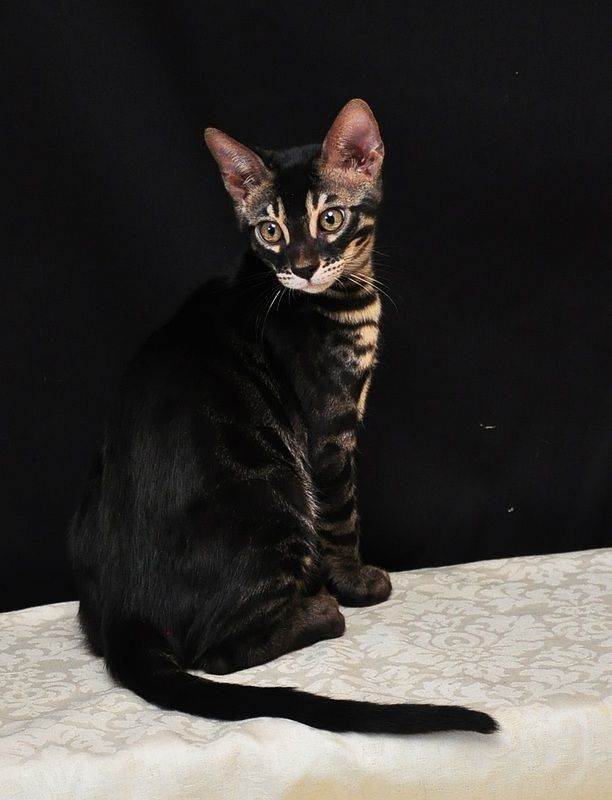 Charcoal Bengal - Brown/Black spotted charcoal bengal.