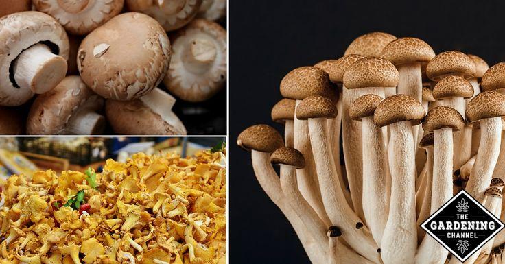 Best 25 edible mushrooms ideas on pinterest wild mushrooms mushroom hunting and morel - Wild mushrooms business ideas ...
