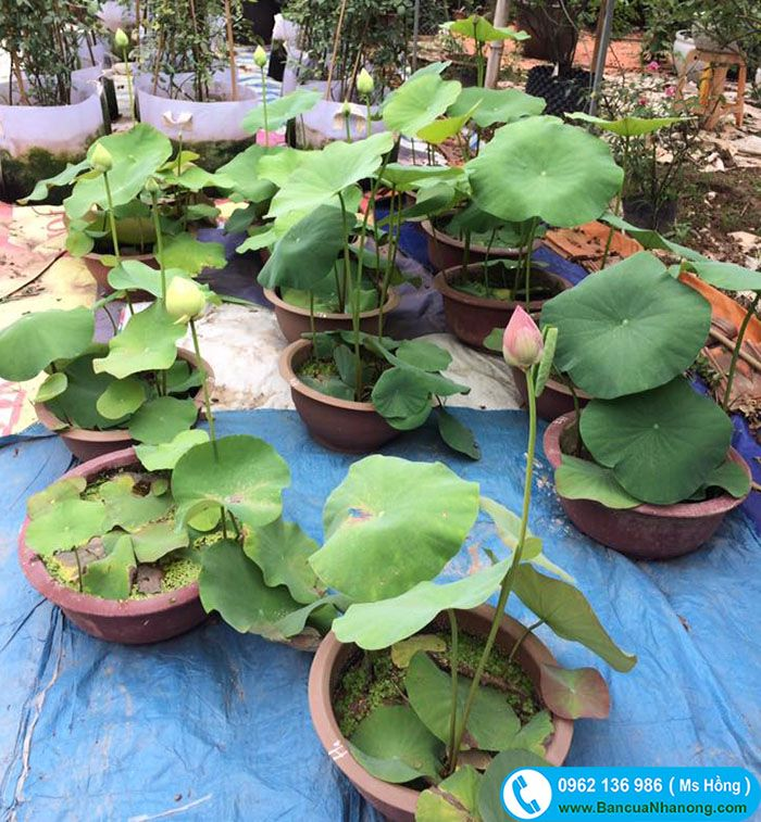 Nhà vườn Ms Hồng hiện cung cấp hoa sen trồng tiểu cảnh, sen làm cảnh được trồng trong chậu xi măng, ang, chum vại,... Hoặc trồng trong hồ nhà, tiểu cảnh sân vườn.