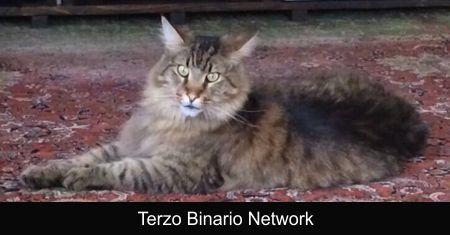 CASTENEDOLO (BS): SMARRITO SHIRO, GATTO TIGRATO. RICOMPENSA http://www.terzobinarionetwork.com/2017/07/castenedolo-bs-smarrito-shiro-gatto.html
